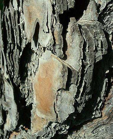 Rinde der Pinie - schützt bei Waldbrand