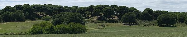 Pinar - Pinienwald