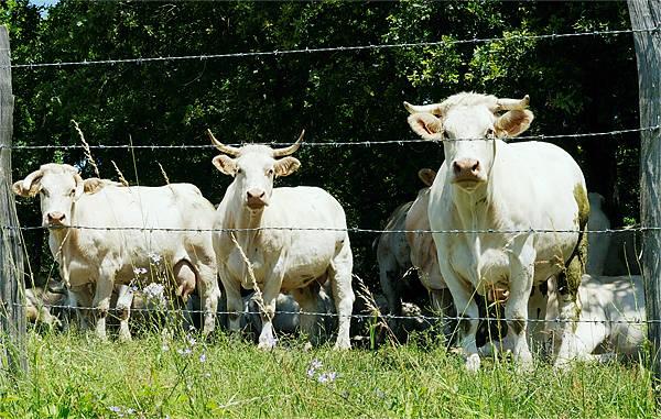 Charolais-Rinder ~ neugierig und glücklich . . .