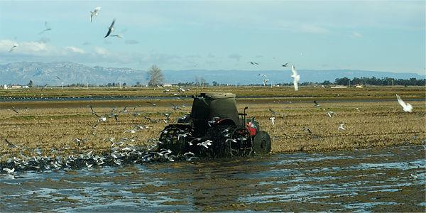 Ebro-Delta ~ Vorbereitung der Reisfelder