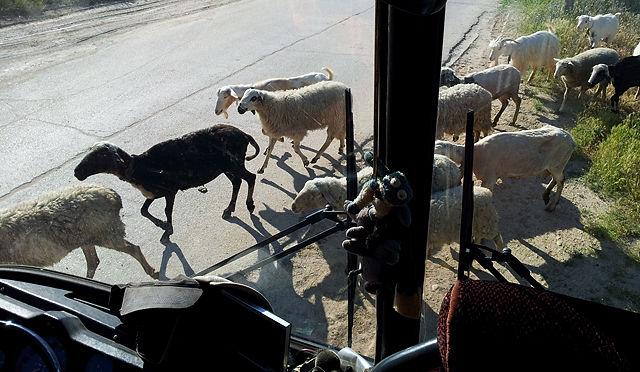 wieder mal Schafe um den Bus . . .
