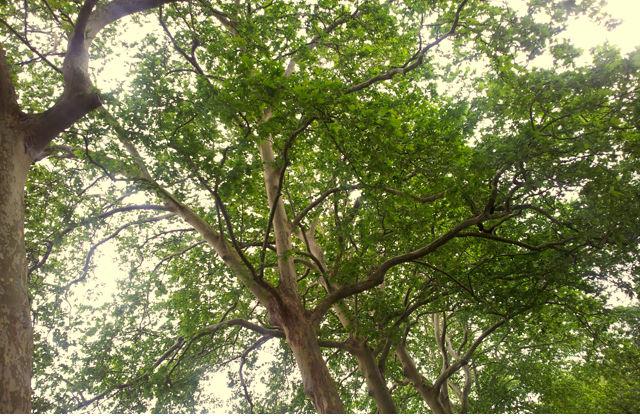 alter Baumbestand am Canal du Midi