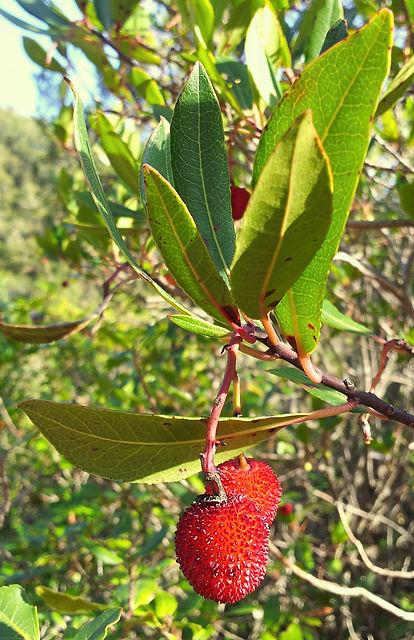 Erdbeerbaum und die roten Früchte