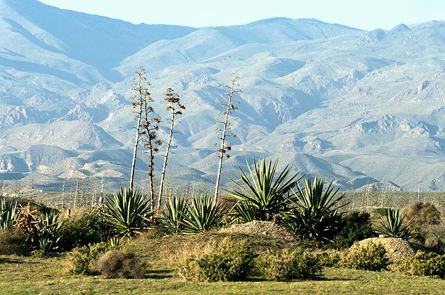 Agaven vor den blauen Bergen ~  Sierra de Alhamilla