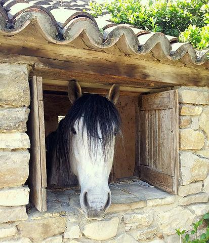 wär bei dem schönen Wetter auch lieber draußen ~ Araberpferd im Stall