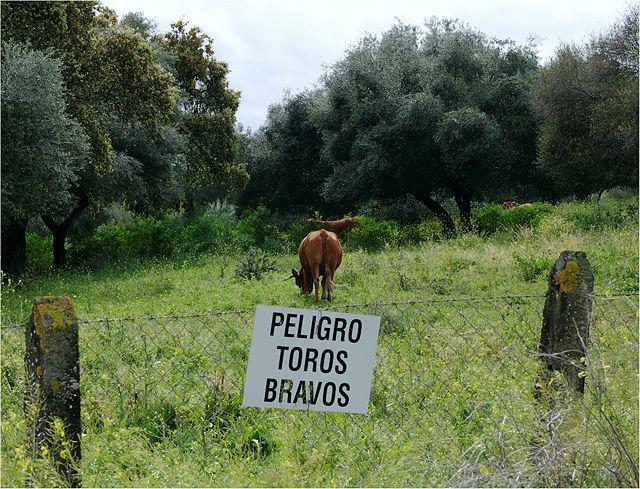 Gefahr! Wilde Stiere! ~ diese Kuh eher nicht :)