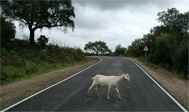 . . . oder Ziege auf der Straße . . .