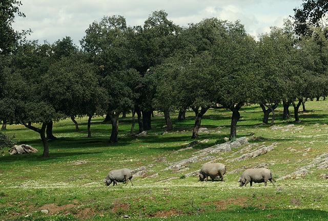 Ibericos, die glücklichen Schweine ;)
