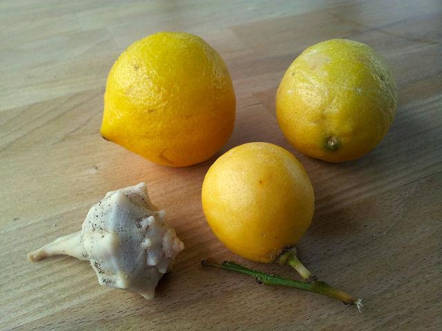 Strandläufers Beute ~ Zitrone, kleine Zitrone, Babyzitrone, Schneckenmuschel . . .