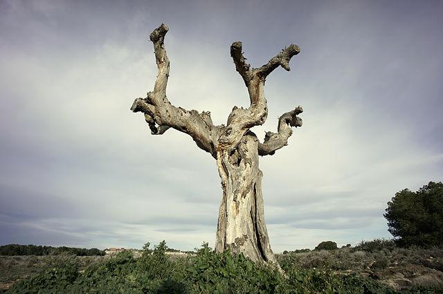 die alte Olive ~ lange tot und doch schön . . .
