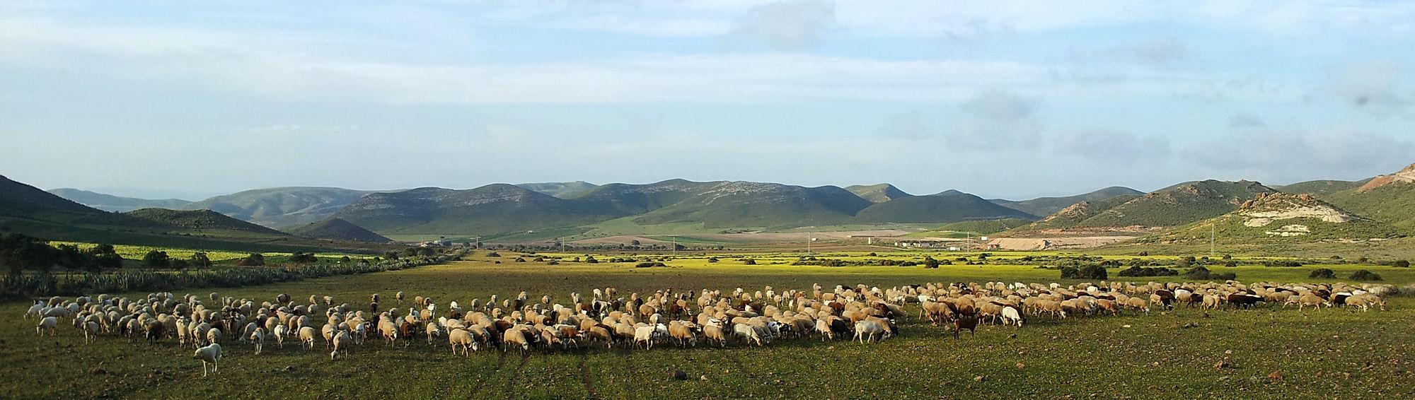 * Angriff der Schafslegion *