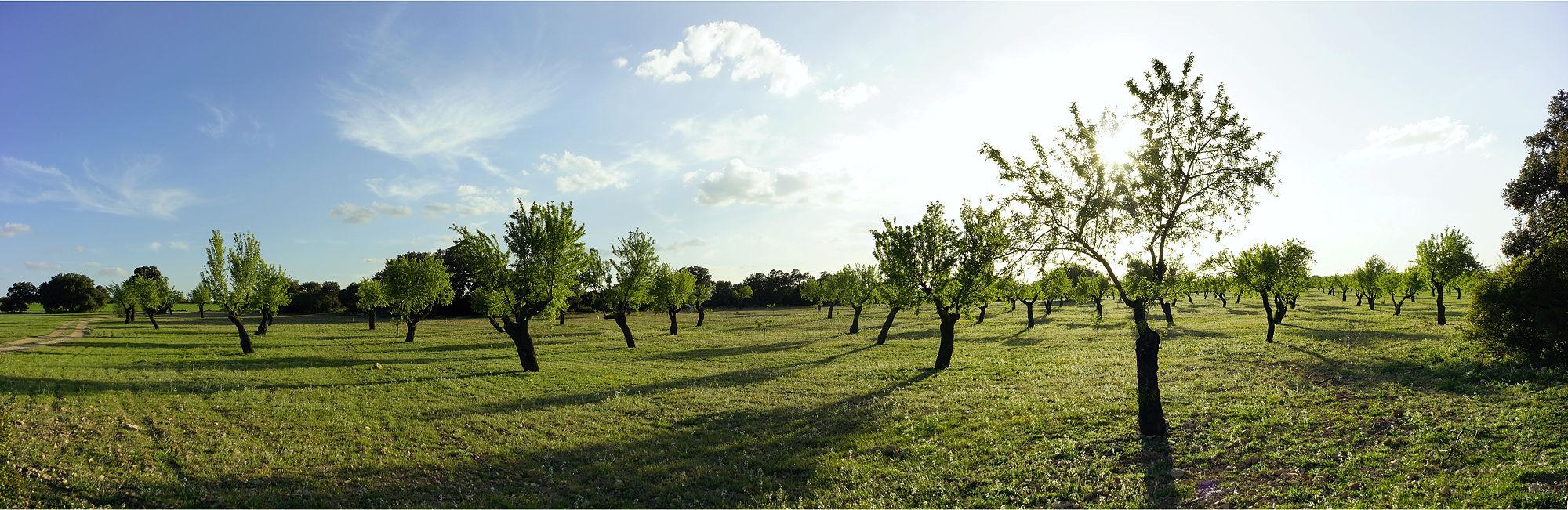 * La Mancha ~ Mandelbäume *