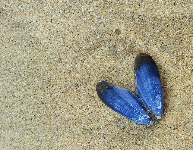 Miesmuschel ~ ausgebleicht zu leuchtendem Blau
