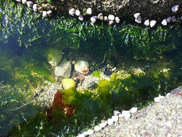 in einer Felsspalte: Tang, Schnecken, Muscheln, auch Moule - Miesmuscheln