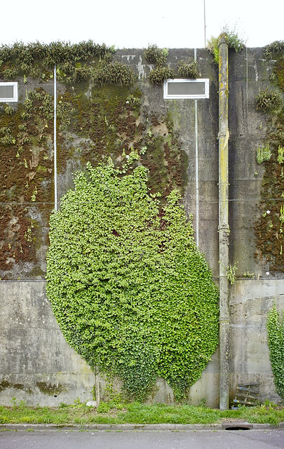 Rückwand des Bunkers ~ an den Stahlnetzen zum Schutz vor herabbröselnden Betons wächst Efeu