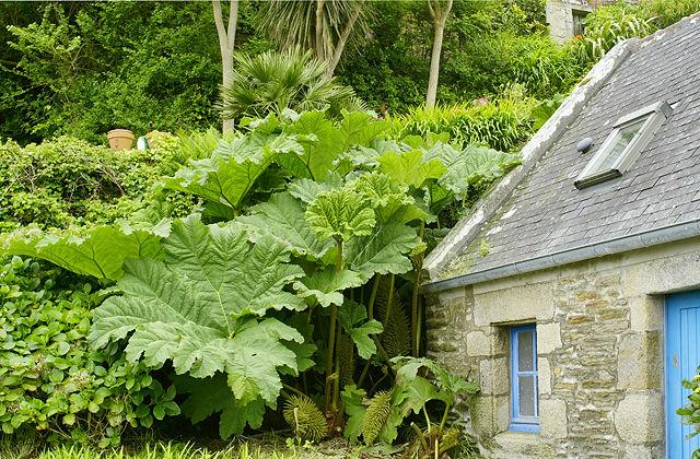 Heracleum giganteum, Le Conquet