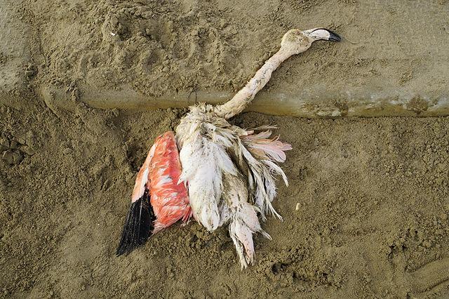 Schönheit, vergänglich ~ Rosa Flamingo