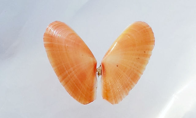 zartes Müschelchen in rot, 22mm