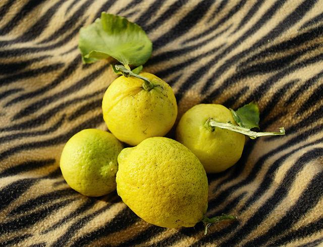 der alte Herr Magirus erntet Zitronen . . .