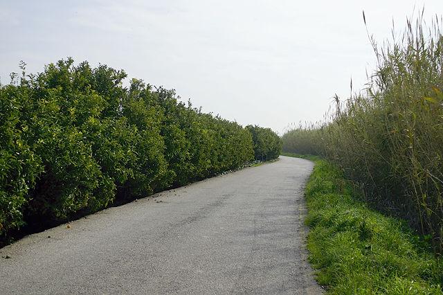 die kleine Straße am Ebro entlang, zwischen Mandarinenhain und Schilf ~ Teil des Ebro-Radwanderweges