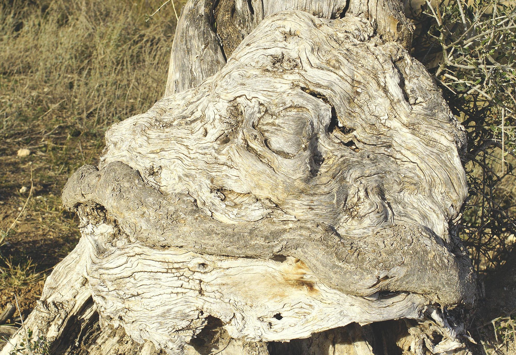 alte Olive ~ Wurzelknoten