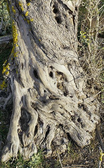 Alte Olive ~ die tatsächlich auch noch austreibt!