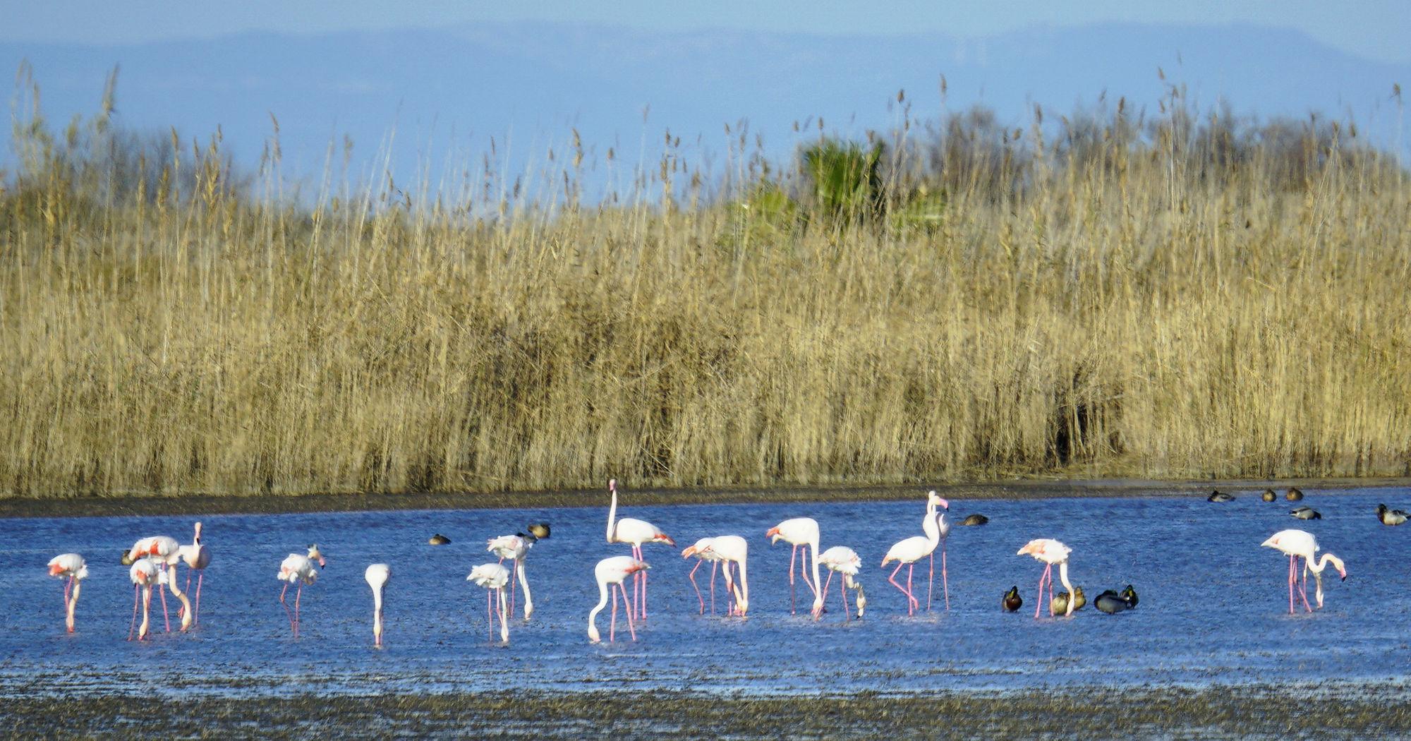 * Parc Natural del Delta de L'Ebre ~ Flamingos, Schnabel im Wasser *