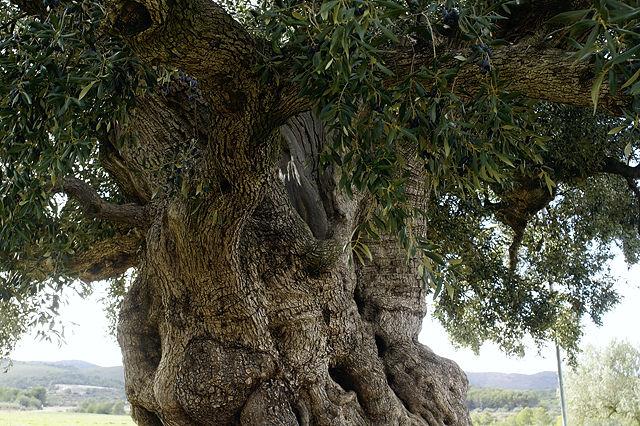 La Morruda, ~ 1550 Jahre alter Olivenbaum