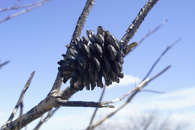 verkohlter Pinienzapfen