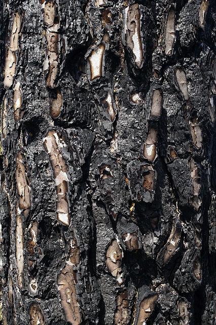 verbrannte Pinienborke