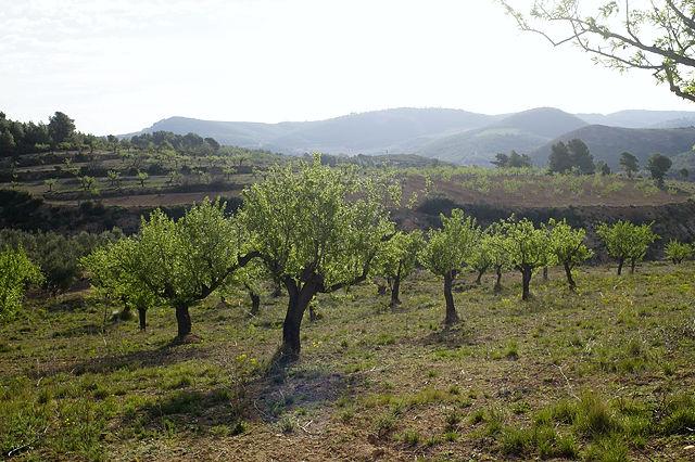 Mandelbäume im Morgenlicht