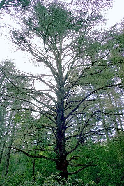 aufpassen, daß man den Baum vor lauter Wald auch sieht ~ Zedern