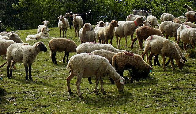 auch Schafe sind nur Menschen :) gelassener Patou