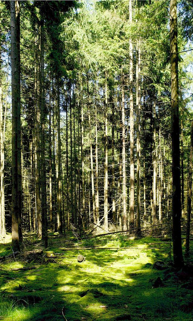 Stangenwald mit Lichtinsel
