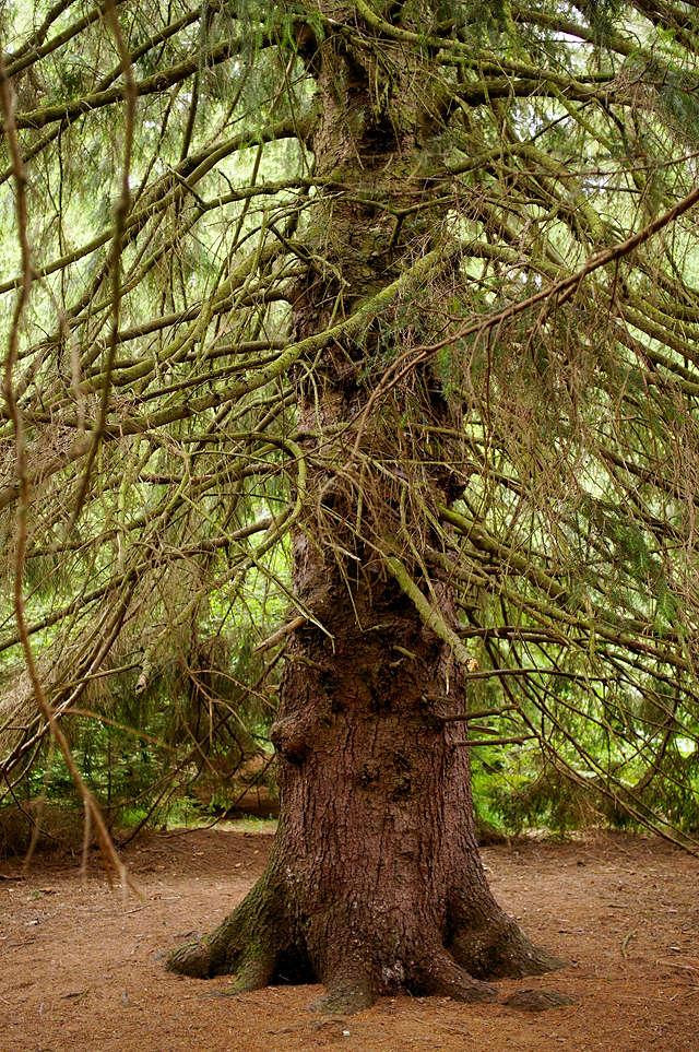 in diesem 'Urwald' eher seltene aber 'ur'alte Fichte