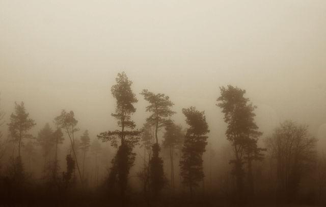 * Kiefern im Nebel *