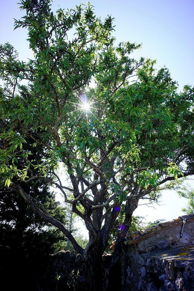 der Mandelbaum am Haus