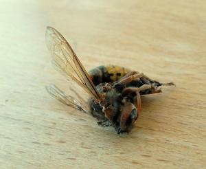 zugeflogen ~ Hornisse, neudeutsch Hornet