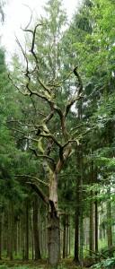 alte Eiche im Stangenwald ~ nicht mehr sehr lebendig :(