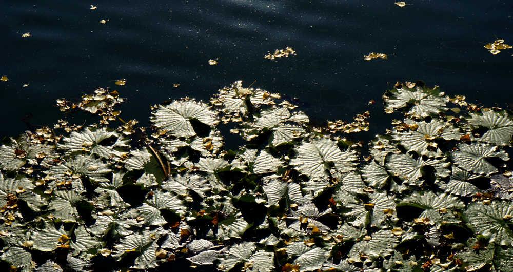 Seerosen & Herbstlaub