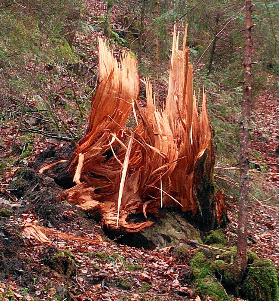 gewaltige Kräfte ~ bei Sturmbruch zerfetzter Baumstumpf