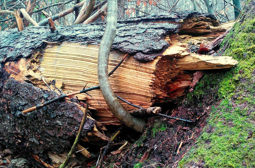 Sturmbruch ~ die Holzfasern durch Torsion getrennt