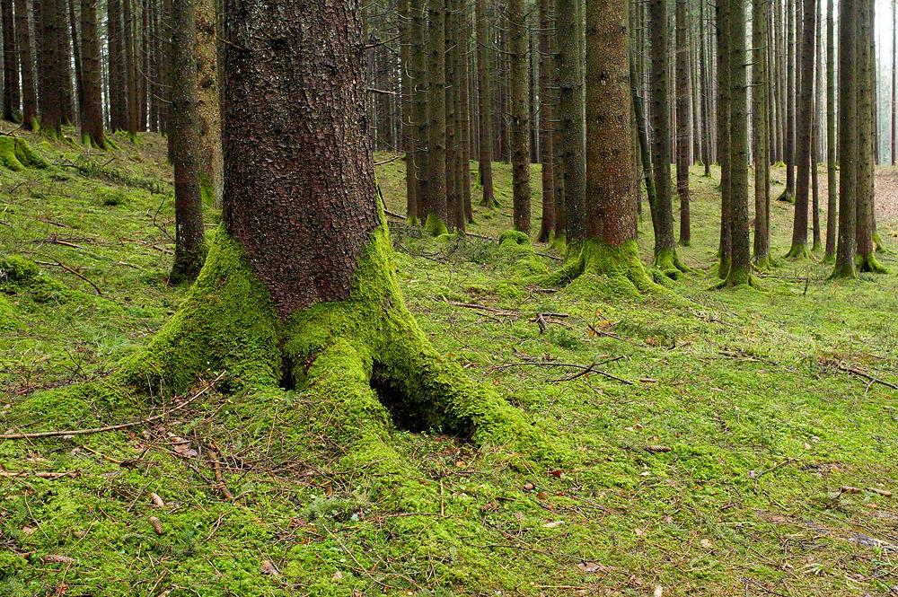 . . . dann kann man von Glück sprechen, wenn der Boden im Wald noch so aussieht ~ grün von Moos und Kraut.