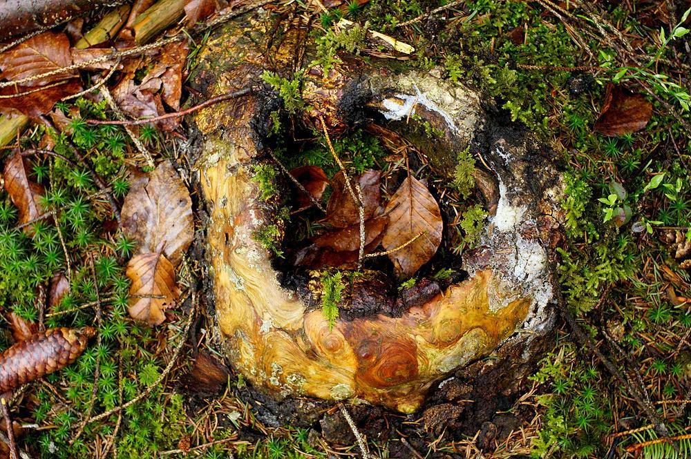 Reste eines verwitterten Baumstumpfs mit glattgeschliffenen Holzstrukturen