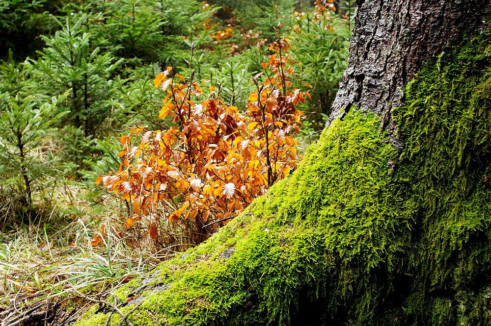 Kontraste ~ junge Buchen mit Laub vom vorigen Jahr in rot ~ warmgrünes Moos und kühlgrüne Fichtenschößlinge