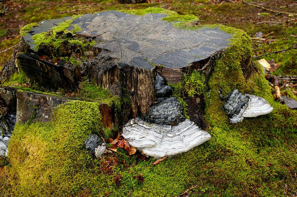 der Reiz liegt dann in Details ~ hier Baumpilze, die sich an einem Stumpf gütlich tun
