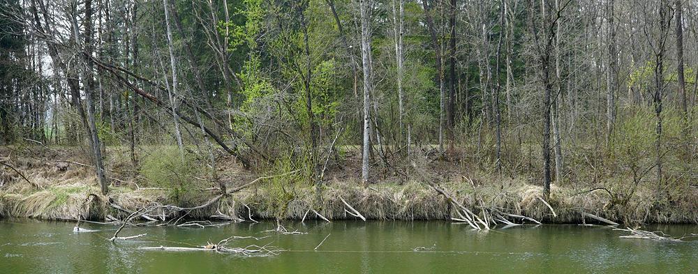 Ammer im regulierten Teil des Flusses ~ Biberalarm! Jede Menge gefällte Bäume