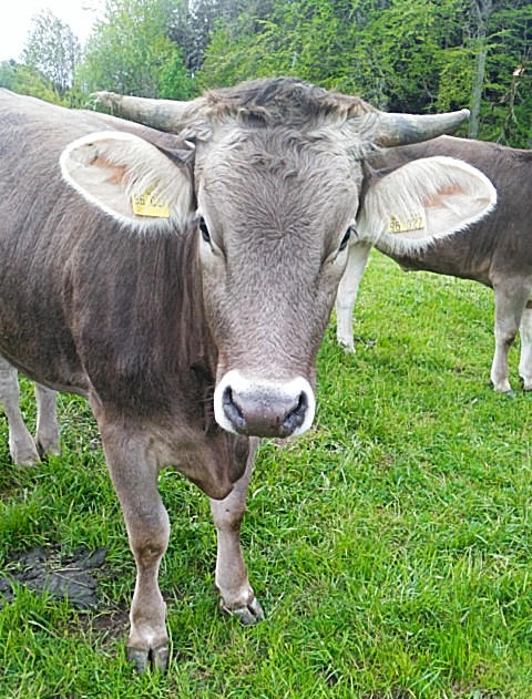 Allgäuer Kuh mit den großen weißen Ohrtrichtern