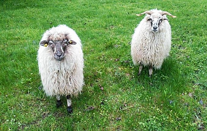 neugierige Schafe im Allgäu ~ niedliche Wollknäuel