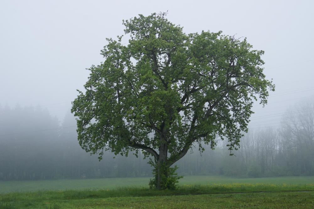 Linde in Nebel und Nieselregen . . .